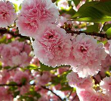 Cheery Cherry Blossom Tree  ^ by ctheworld