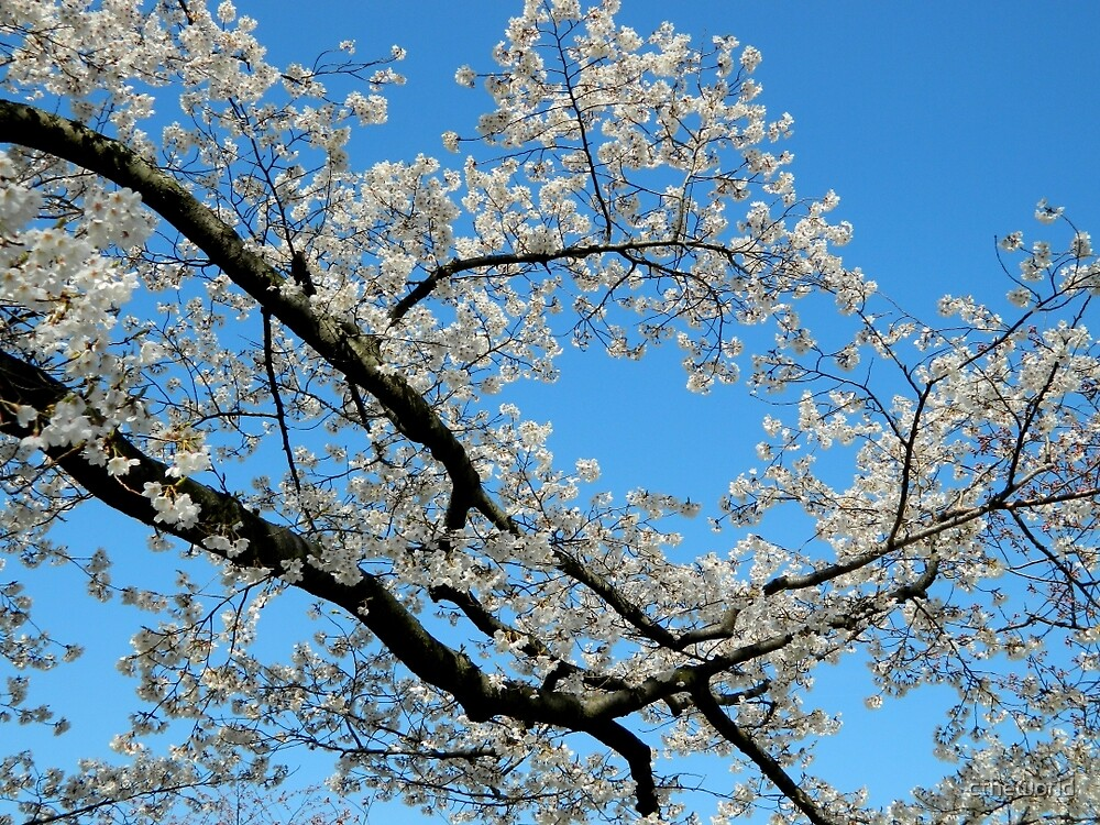 Looking UP - Spring Tree  by ctheworld