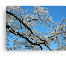 Looking UP - Spring Tree  Canvas Print