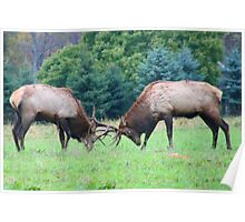Young Bull Elk Sparring Poster