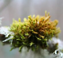 Moss on branch - 2011 by Gwenn Seemel