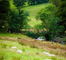 View of English sheep in countryside, UK by Stanciuc