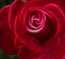 Hybrid Tea Red Rose by alan tunnicliffe