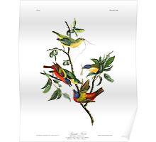 John James Audubon - Painted Bunting Poster
