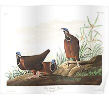 Blue-headed quail-dove - John James Audubon Poster