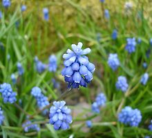Edinburgh RBG: Grape Hyacinth by mbgordon