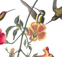 Mango Hummingbird - John James Audubon Sticker