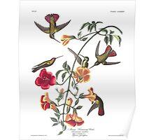 Mango Hummingbird - John James Audubon Poster