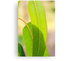Eucalypt leaves Canvas Print