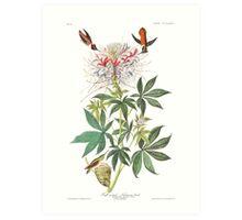 Rufous Hummingbird - John James Audubon Art Print