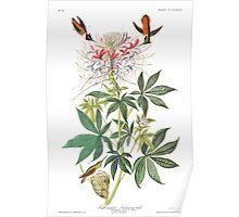 Rufous Hummingbird - John James Audubon Poster