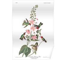 Anna's Hummingbird - John James Audubon  Poster