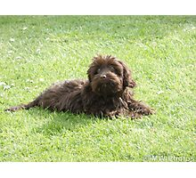 Chocolate Cockapoo Photographic Print