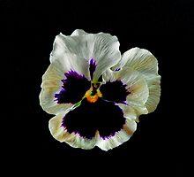 Garden Pansy by Floyd Hopper
