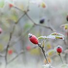 """"""" Frozen Frosted Berries """" by Richard Couchman"""