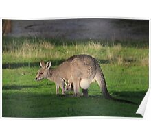 Eastern Grey Kangaroo and Joey Poster