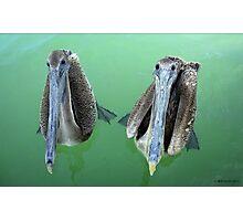 Curious Pelicans Photographic Print