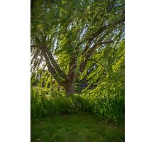 Windy Willow Photographic Print