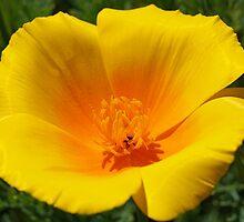 Big Poppy Flower Golden Orange Yellow Silky by BasleeArtPrints
