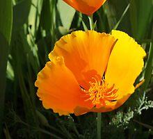 Poppy Flower Summer Floral Art Prints Gifts by BasleeArtPrints