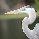 Great Blue Heron in the Wild by Bob Hardy
