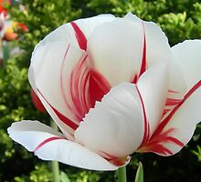 Peppermint Tulip by Kathleen Brant