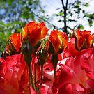 Red ORANGE Roses Garden art prints by BasleeArtPrints