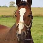 Horse in Amish Country by lorilee