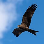 Black Kite by NaturesGuardian