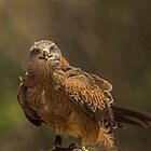 The black kite by Rick Playle