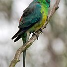 Male Red-rumped Parrot by John Sharp