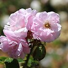 Pink Rose in Pinjarra by kalaryder