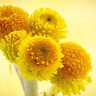 Common Everlasting, Yellow Buttons by DPalmer