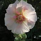 Hollyhock Heart by Jacki Stokes