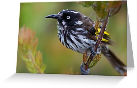 New Holland Honeyeater  by mncphotography