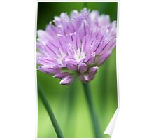 Onion Chive Flower Poster