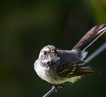 Fierce Fantail by Will Hore-Lacy