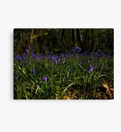 Bluebells in Prehen Woods Canvas Print