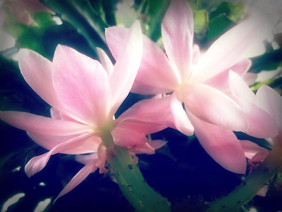 Christmas Cactus - at front porch by EdsMum