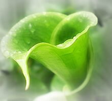 Green Calla Lily opening to Life by EdsMum