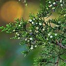 Cedar Berries by Rick  Friedle