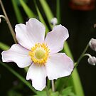 Japanese Anemone & Buds by AnnDixon