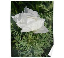 Prickly Poppy Waking Up Poster