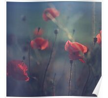 Red wild flowers poppies on hot summer day in blue tones Hasselblad square medium format film analogue photo Poster