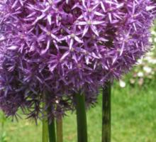 Purple Poms Sticker