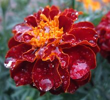 Raindrops on a Red Marigold by alfalfascout