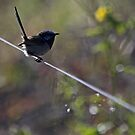The Willie Wagtail by hurky