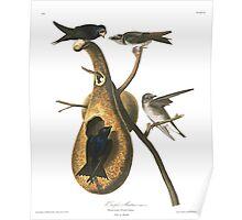 Purple Martin - John James Audubon Poster