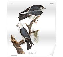 Mississippi Kite - John James Audubon Poster