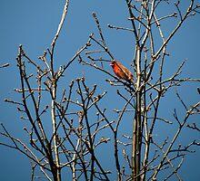 Lone Cardinal  by jenglish58